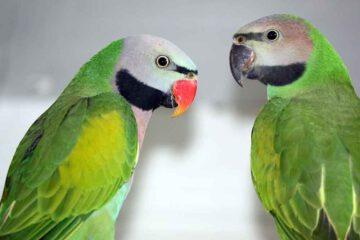 Vogelausstellung-Eisfeld