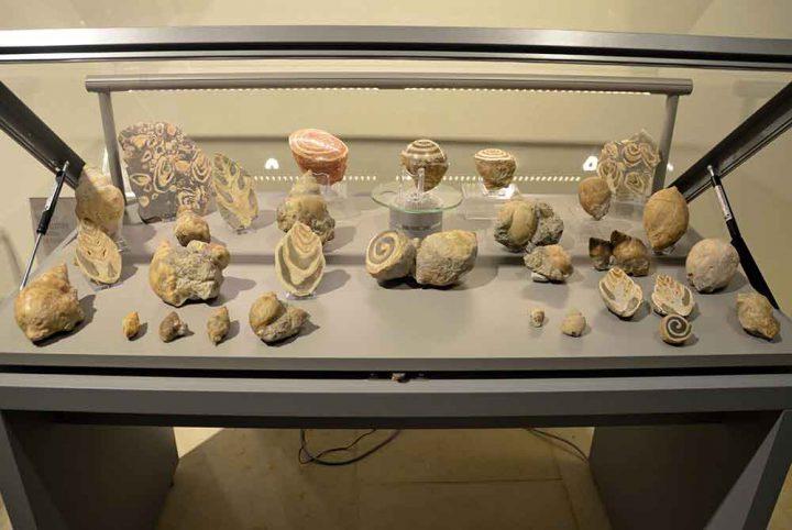 Fossile-Schnecken-aus-der-alpinen-Kreide-Zeit-vom-Salzkammergut