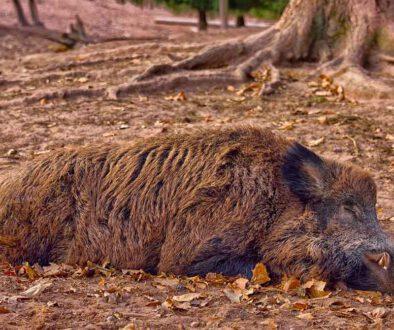 Wildschwein-oder-Baum