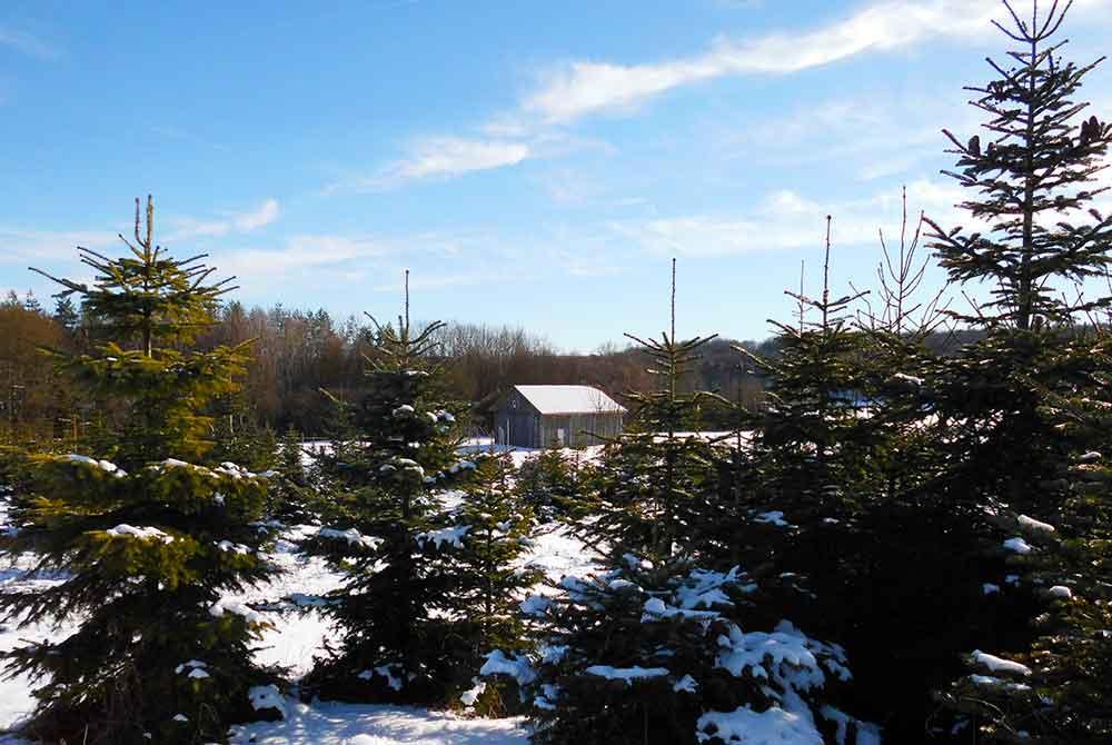 Weihnachtsbäume selber fällen!